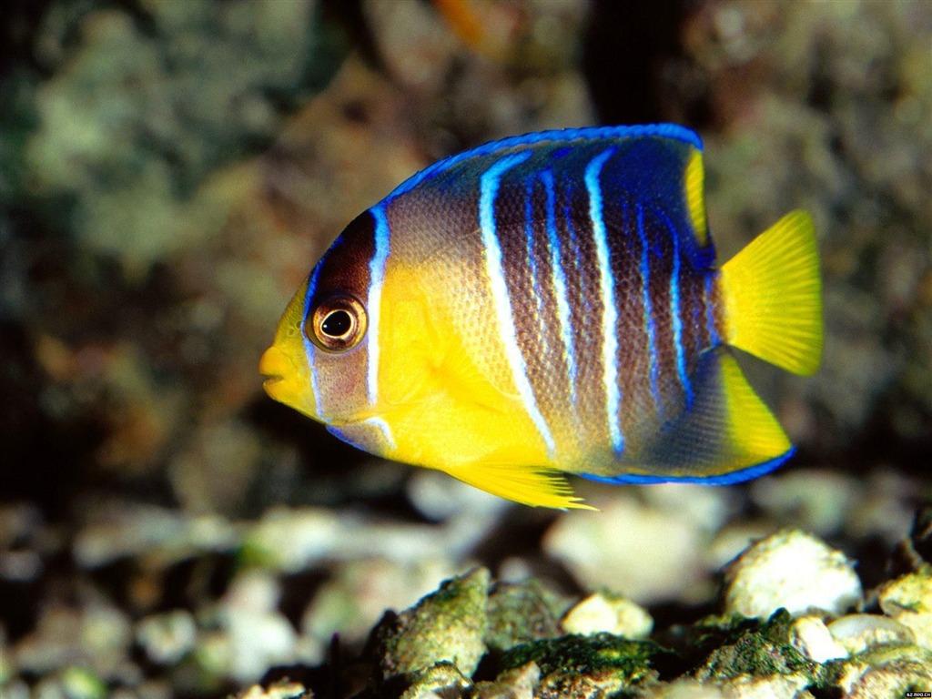 Colorful tropical fish wallpaper albums #20 - 1024x768 ...