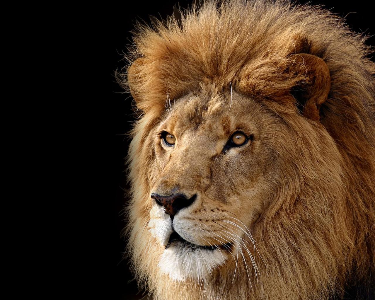 3d lion 1280 - photo #4
