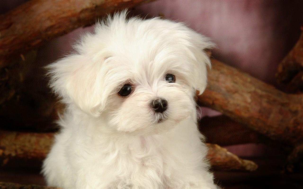 Fond d 39 cran fluffy petit chien 30 1280x800 fond d 39 cran t l charger fond d 39 cran fluffy - Petit chien gratuit ...