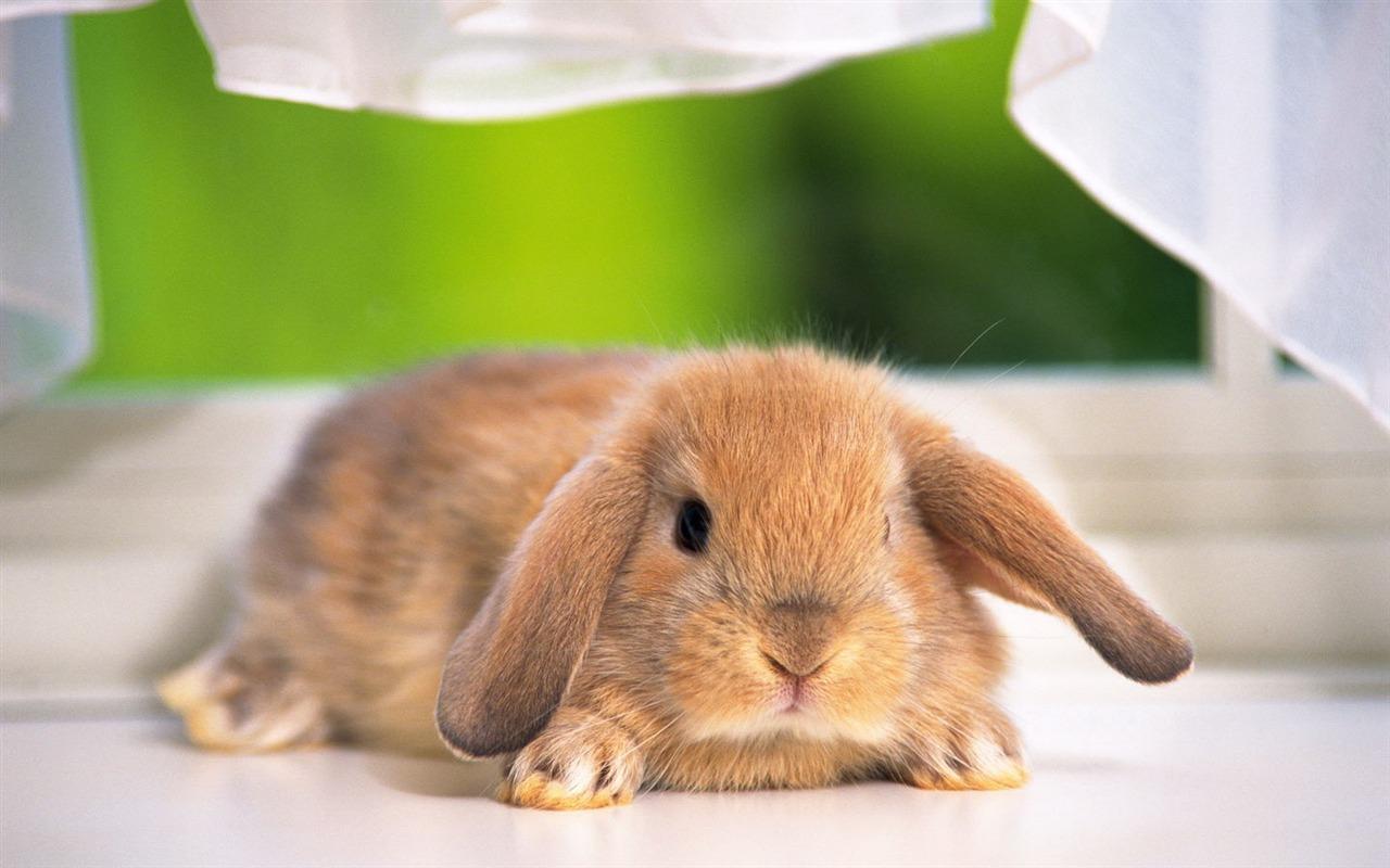 Célèbre Fond d'écran mignon petit lapin #14 - 1280x800 Fond d'écran  XN53