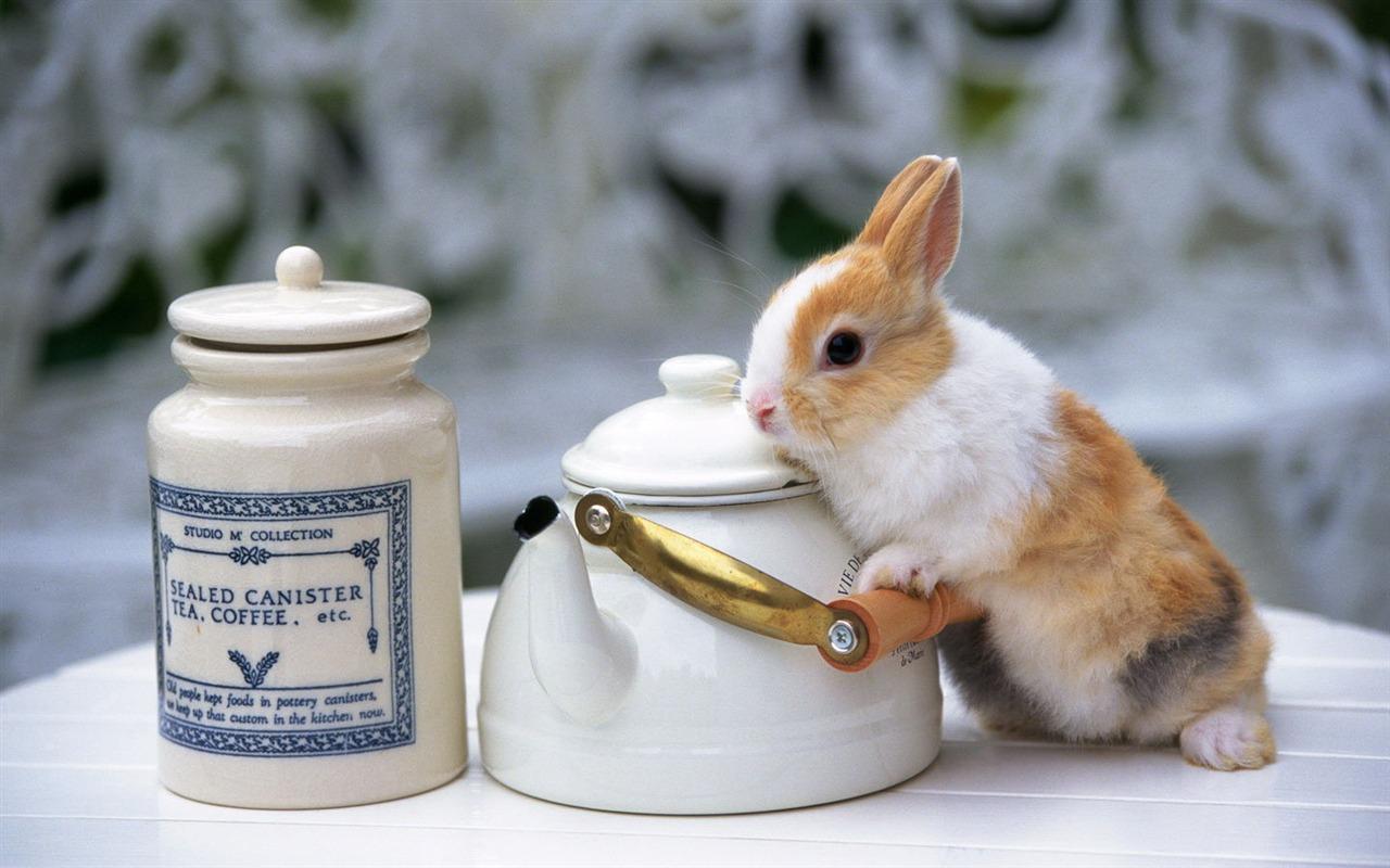 かわいいウサギの壁紙 21 1280x800 壁紙ダウンロード かわいいウサギの壁紙 動物 壁紙 V3の壁紙