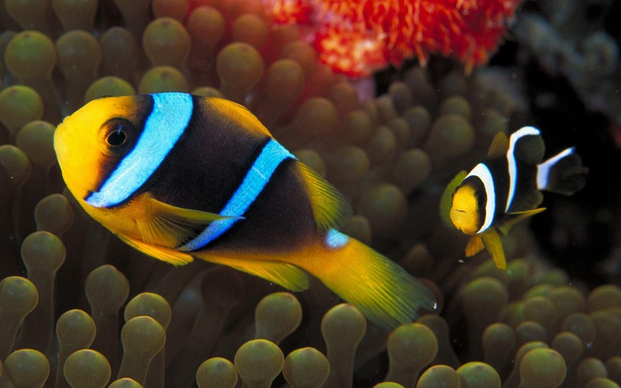 Colorful Tropical Fish Wallpaper Albums 13 1280x800