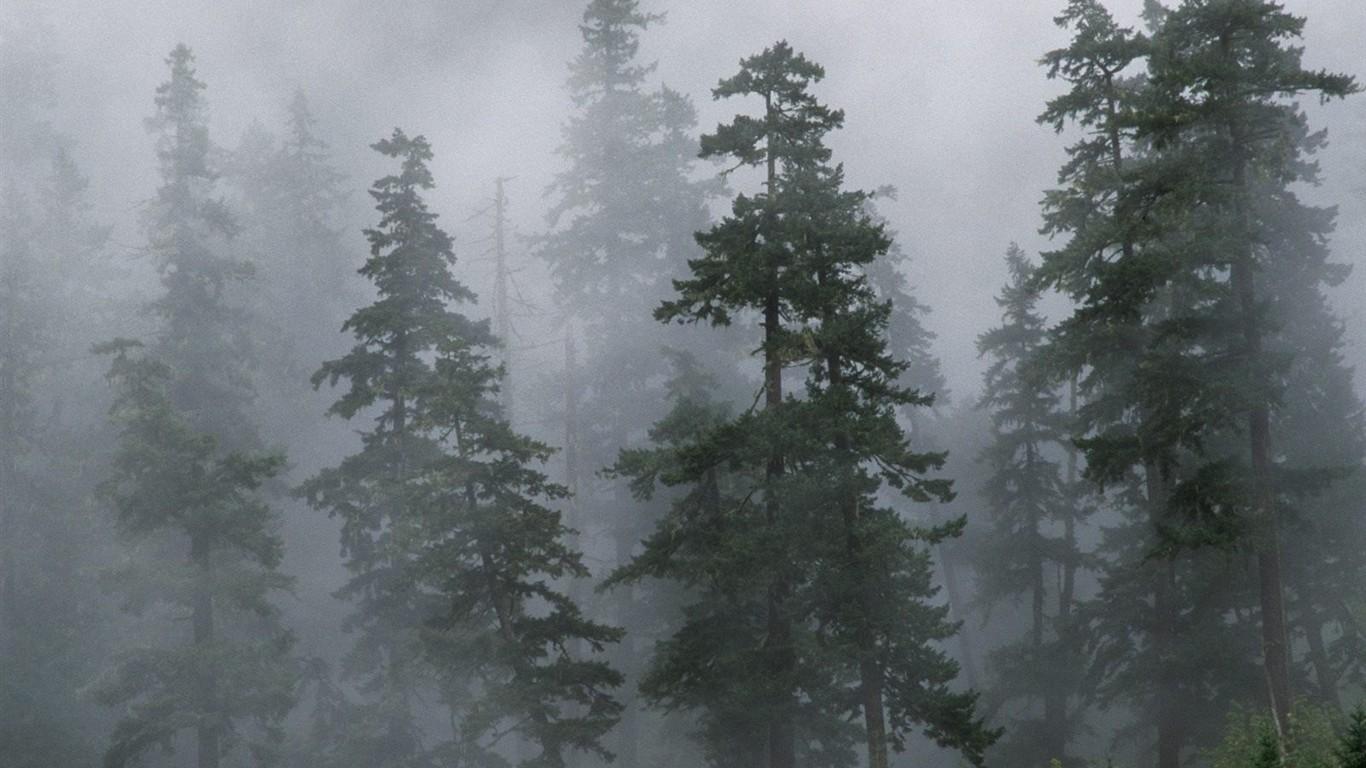 foggy evergreen forest wallpaper