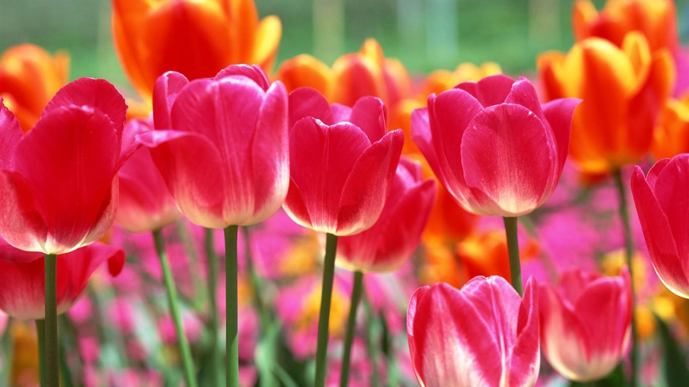 tulip hd wallpapers album 4 1366x768 wallpaper download tulip