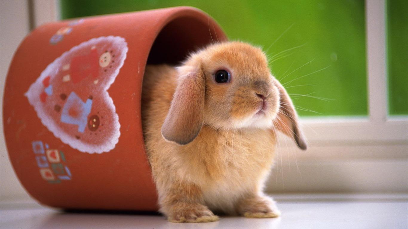かわいいウサギの壁紙 6 1366x768 壁紙ダウンロード かわいいウサギの壁紙 動物 壁紙 V3の壁紙