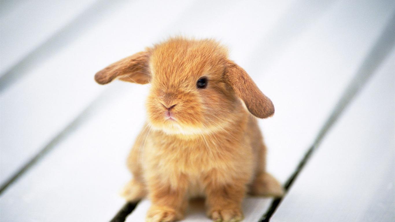 Bien connu Fond d'écran mignon petit lapin #9 - 1366x768 Fond d'écran  RJ24
