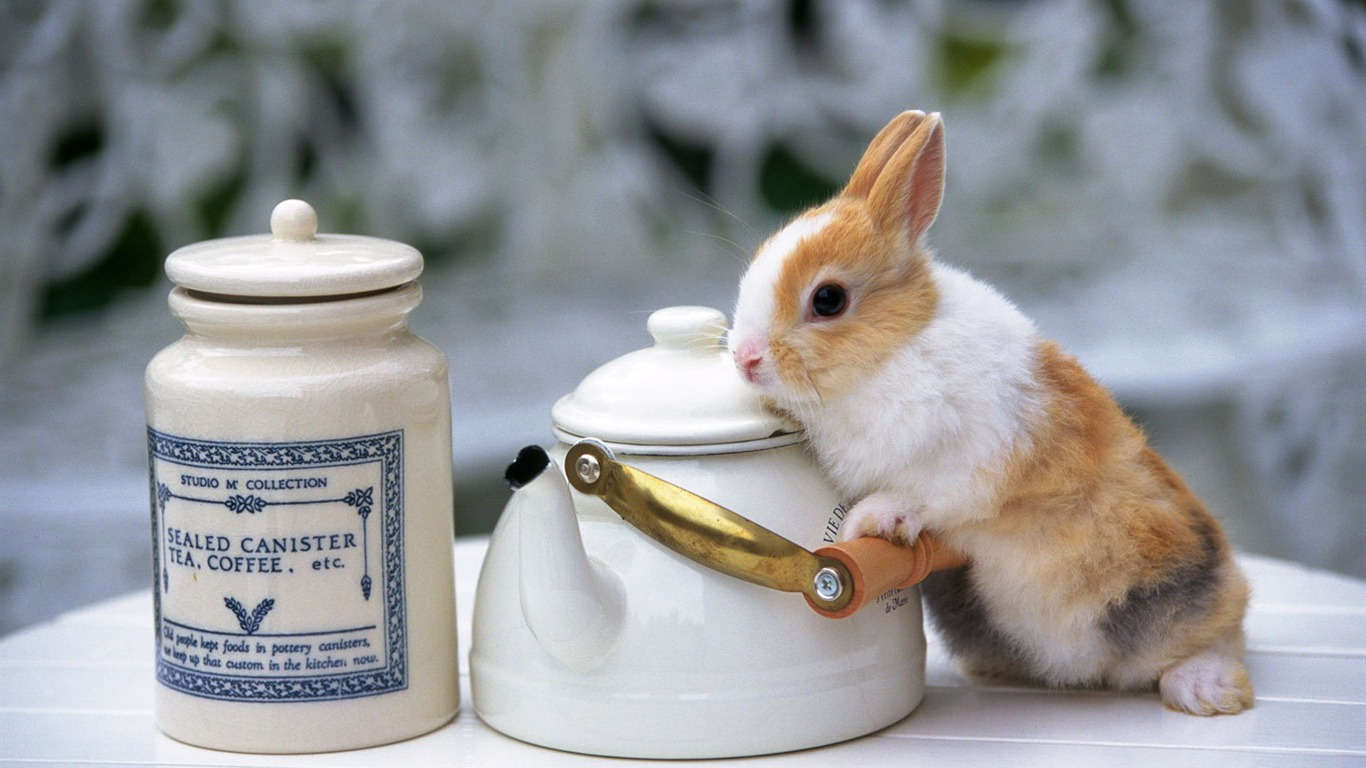 かわいいウサギの壁紙 21 1366x768 壁紙ダウンロード かわいいウサギの壁紙 動物 壁紙 V3の壁紙