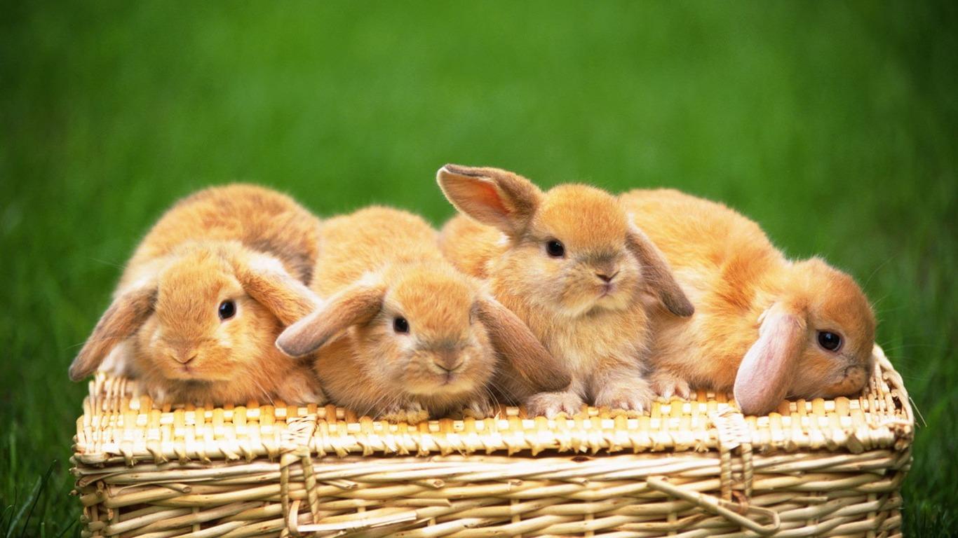 かわいいウサギの壁紙 32 1366x768 壁紙ダウンロード かわいいウサギの壁紙 動物 壁紙 V3の壁紙