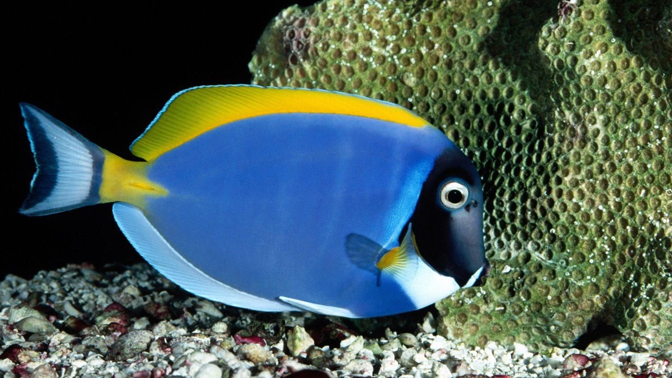 Colorful tropical fish wallpaper albums 14 1366x768 for Colorful tropical fish