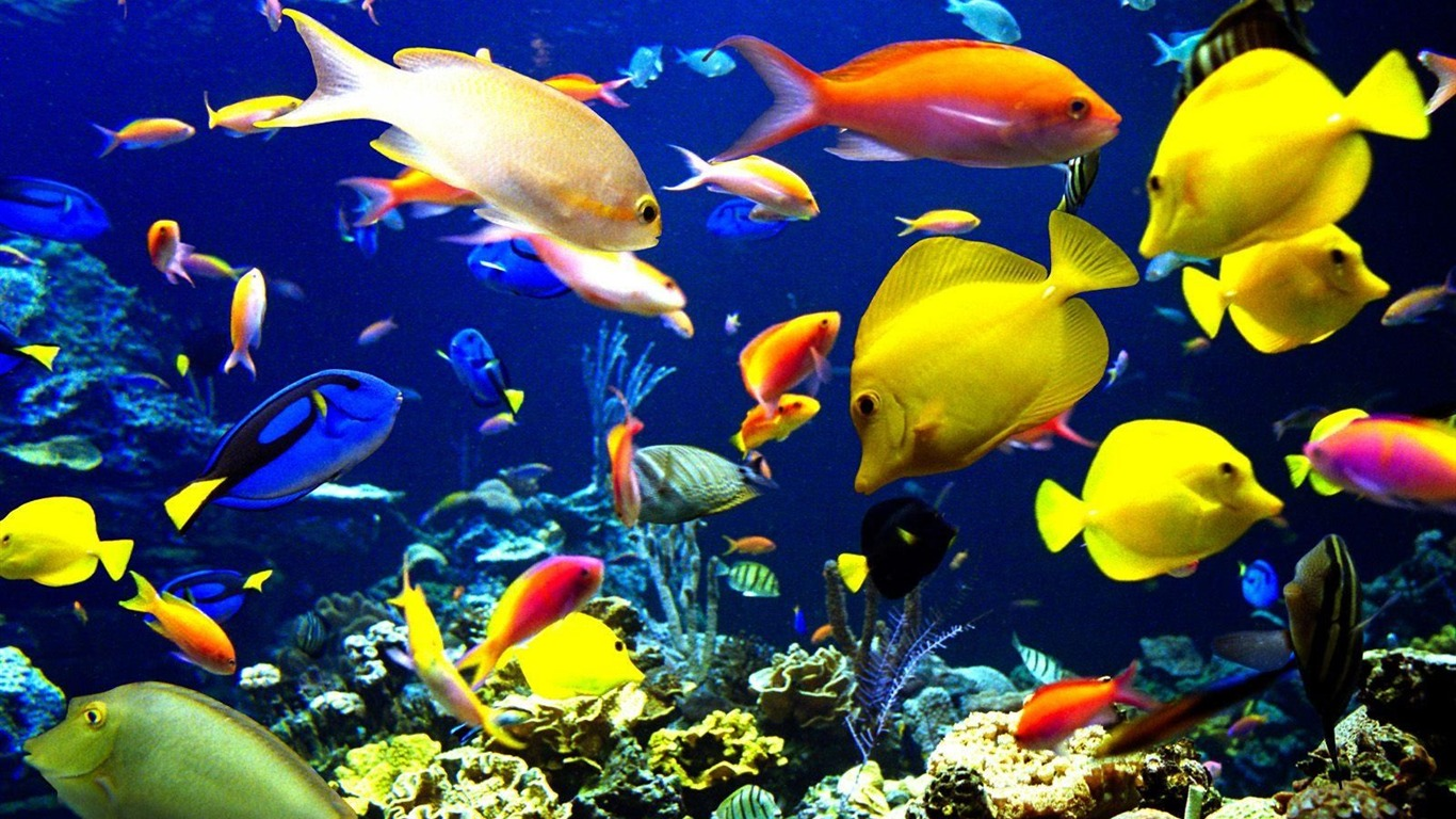 Colorful tropical fish wallpaper albums 23 1366x768 for Tropical aquarium fish