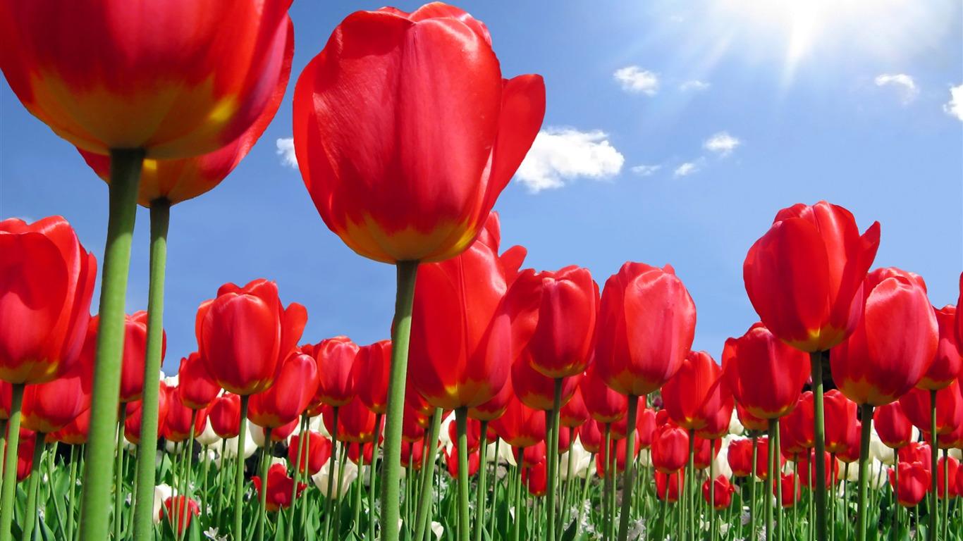 Fond D Ecran Tulip Grand 1 5 1366x768 Fond D Ecran Telecharger Fond D Ecran Tulip Grand 1 Plantes Fond D Ecran V3 Fond D Ecran Du Site