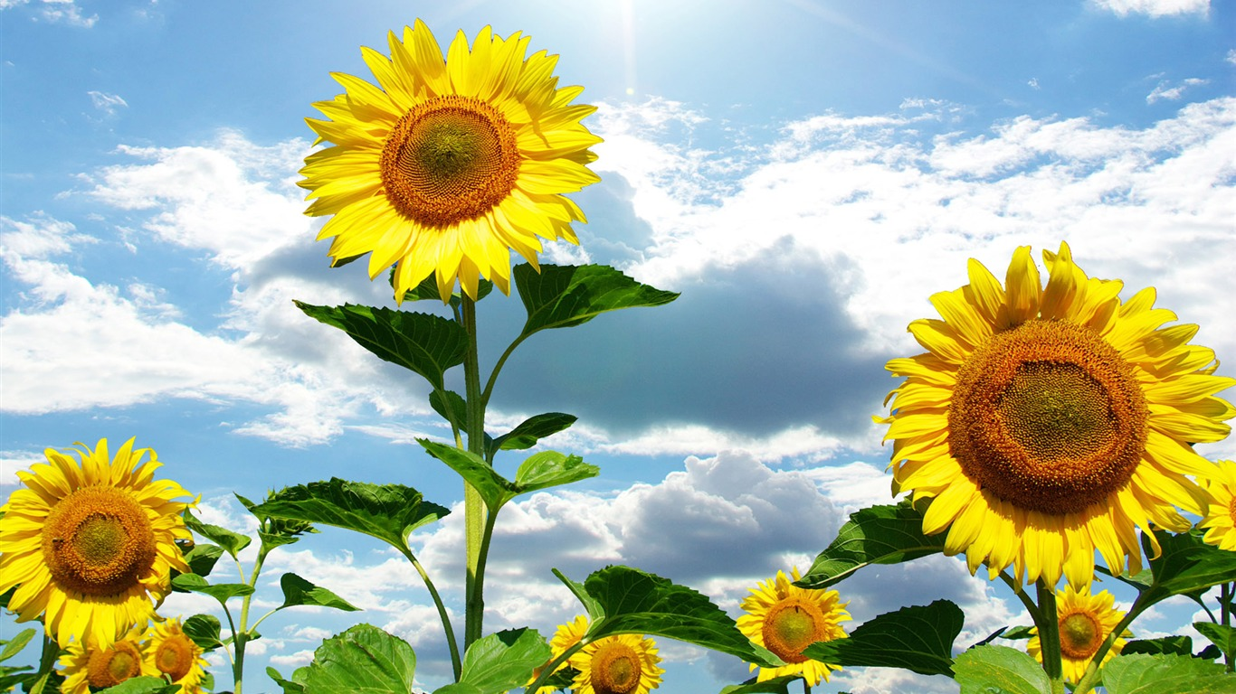 sunflower wallpapers download