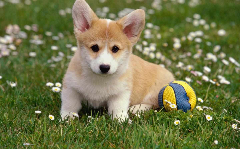 ボールとコーギーの動物壁紙