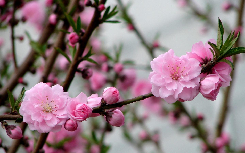Fondos De Pantalla Rosa: Flores De Color Rosa Melocotón Fondo De Pantalla HD #3