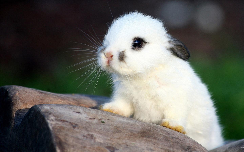 v3动物站壁纸生日毛茸茸的高清,可爱的壁纸快板壁纸/壁纸下载小兔子过老虎动物图片