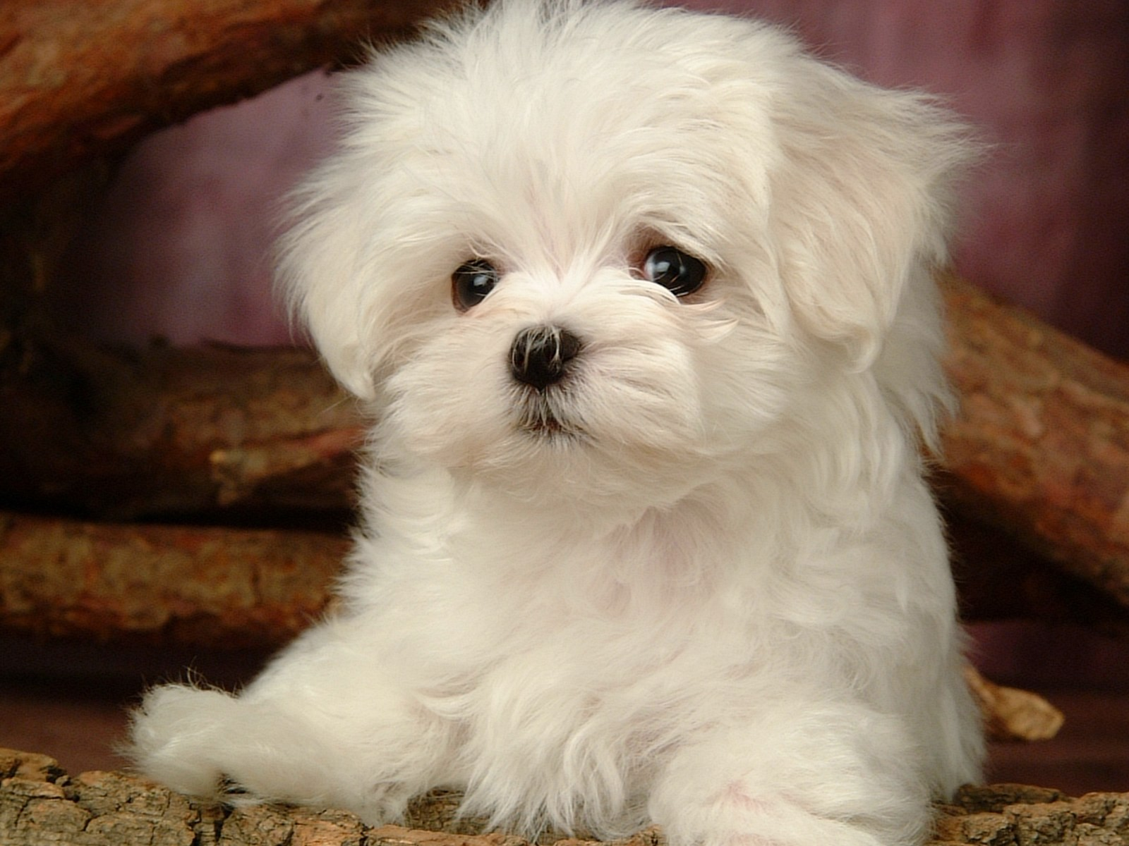 fluffy miniature dogs - photo #44