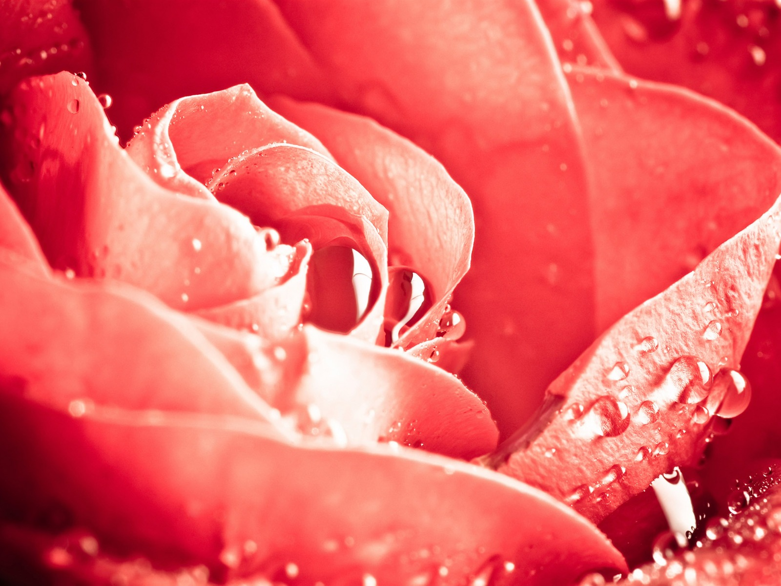 Large Rose Photo Wallpaper (6) #19 - 1600x1200