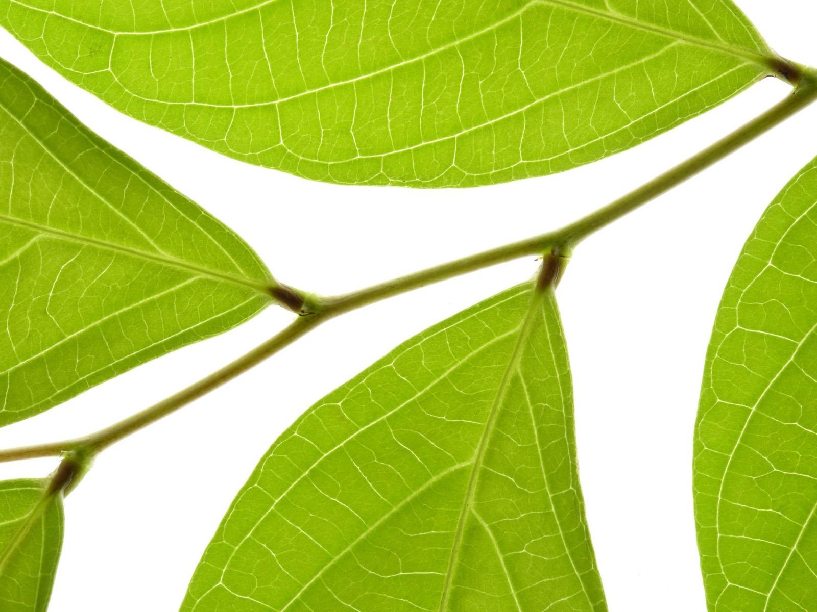 녹색 벽지를 나뭇잎 #13 - 1600x1200 배경 화면 다운로드 ...: www.v3wall.com/ko/html/pic_down/1600_1200/pic_down_83579_1600_1200...