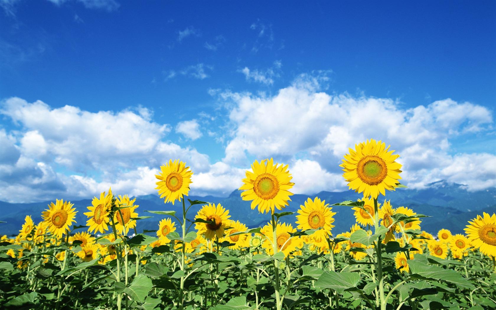 Blauer Himmel Wallpaper Blauer Himmel Sonnenblume