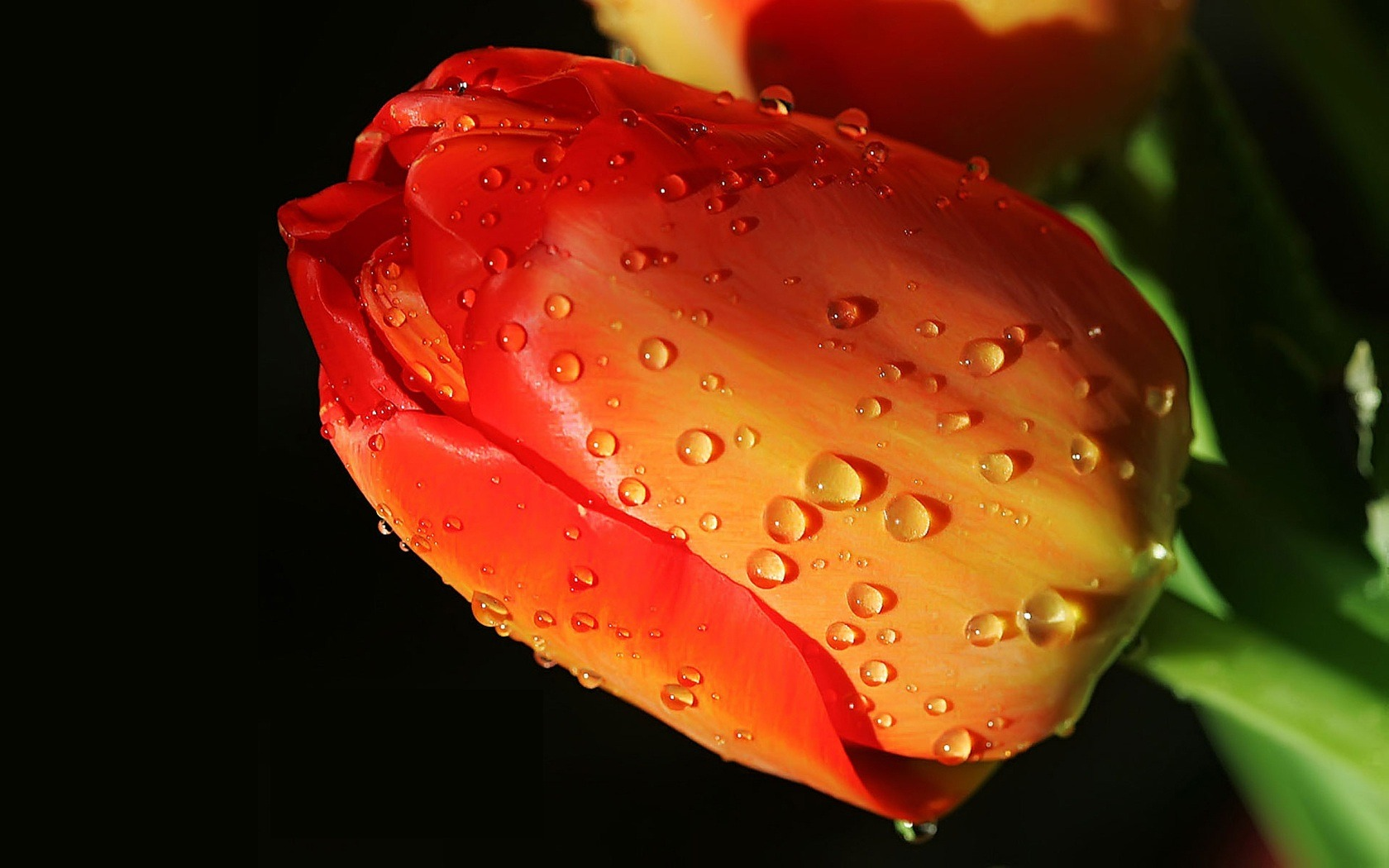HD wallpaper flowers and drops of water #13 - 1680x1050