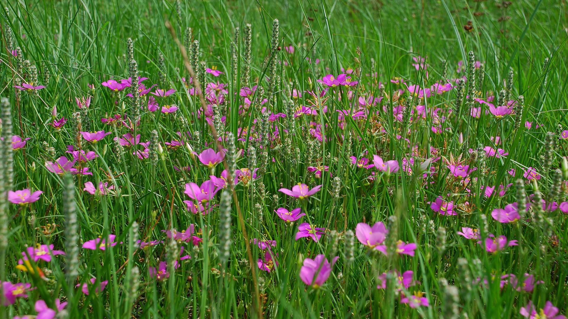 Полевые растения с розовыми цветами фото