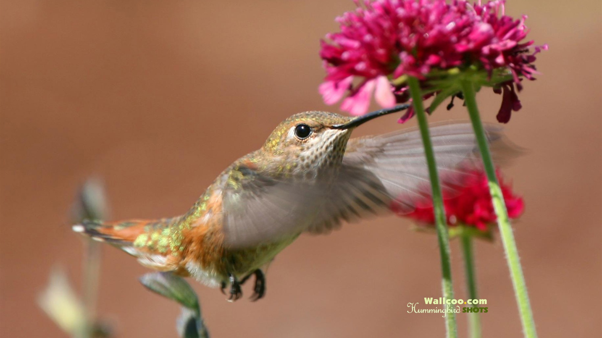 ハチドリの画像 p1_29