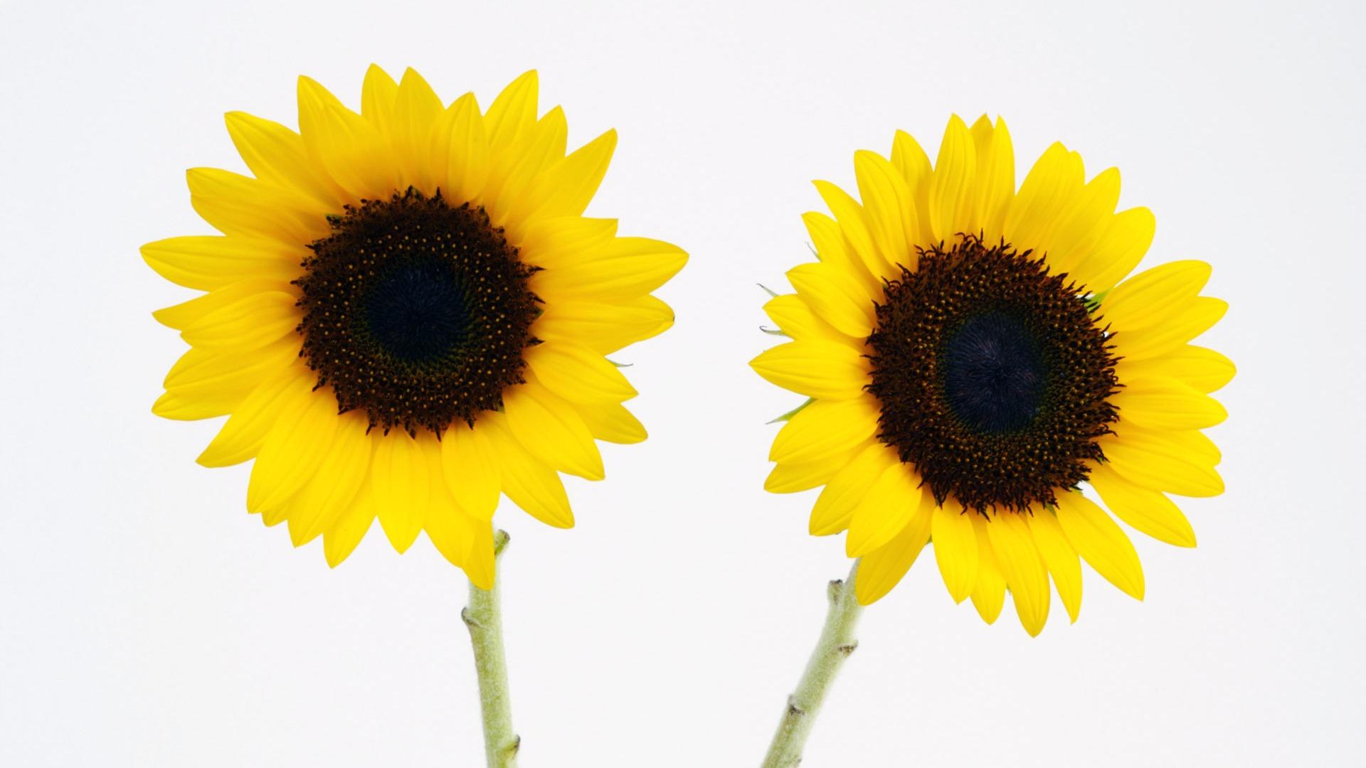 sunflower 8 wallpaper 1920x1080 - photo #41