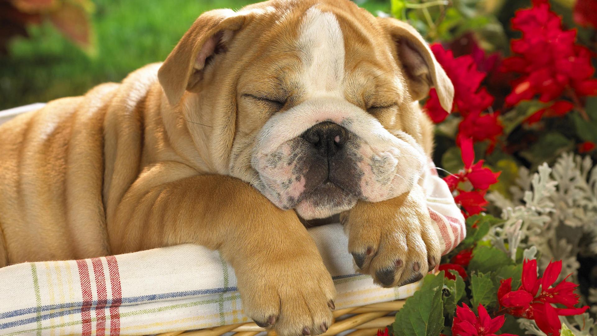 Hd Wallpaper Cute Dog 20 1920x1080 Wallpaper Download