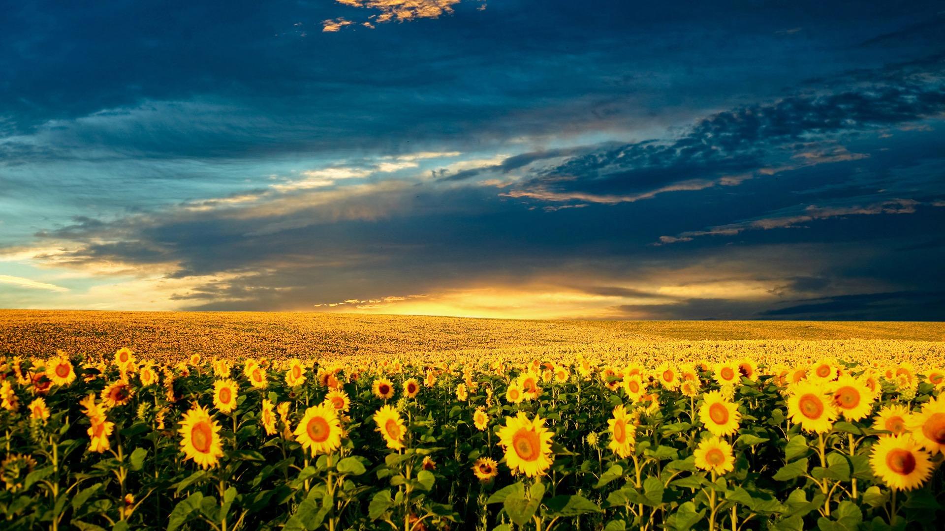 Beautiful Sunflower Close Up Wallpaper 2 13 1920x1080