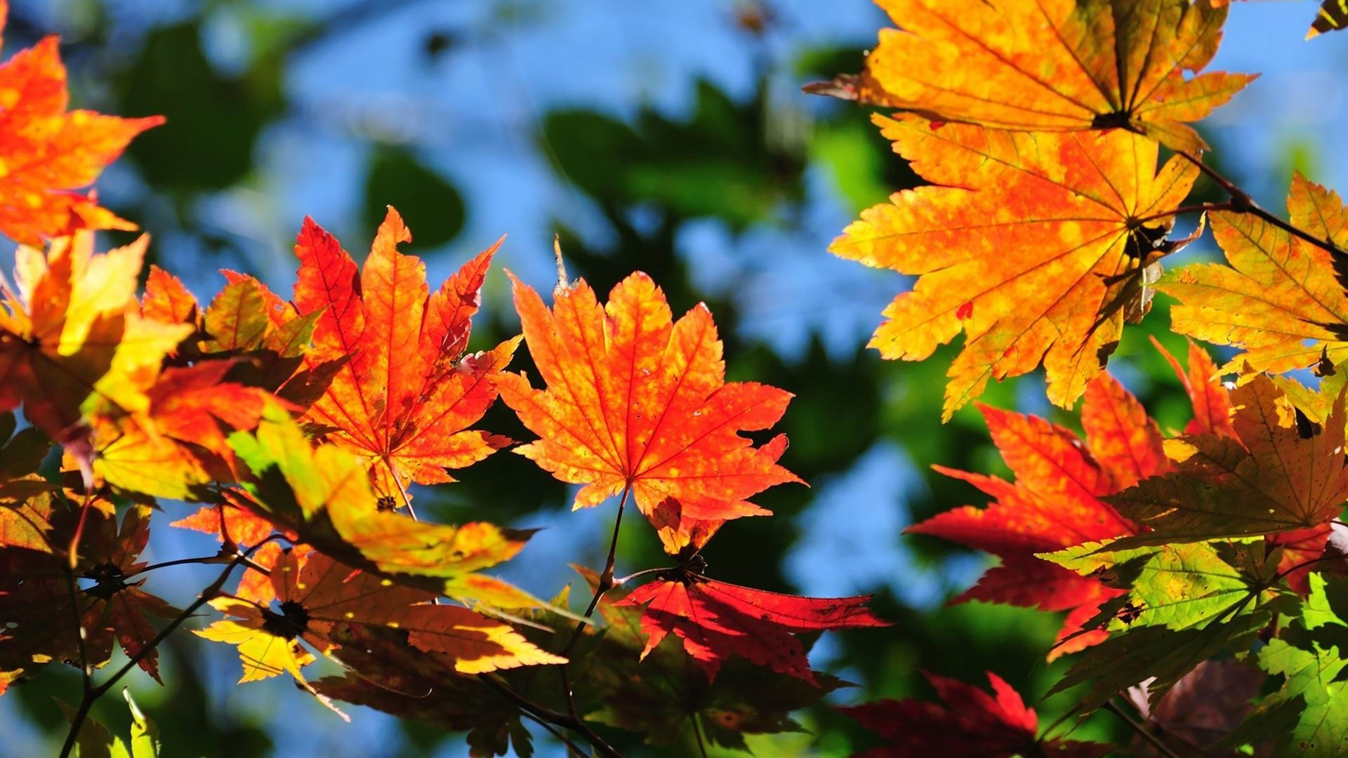 Windows 81 Theme HD Wallpapers Beautiful Autumn Leaves 8