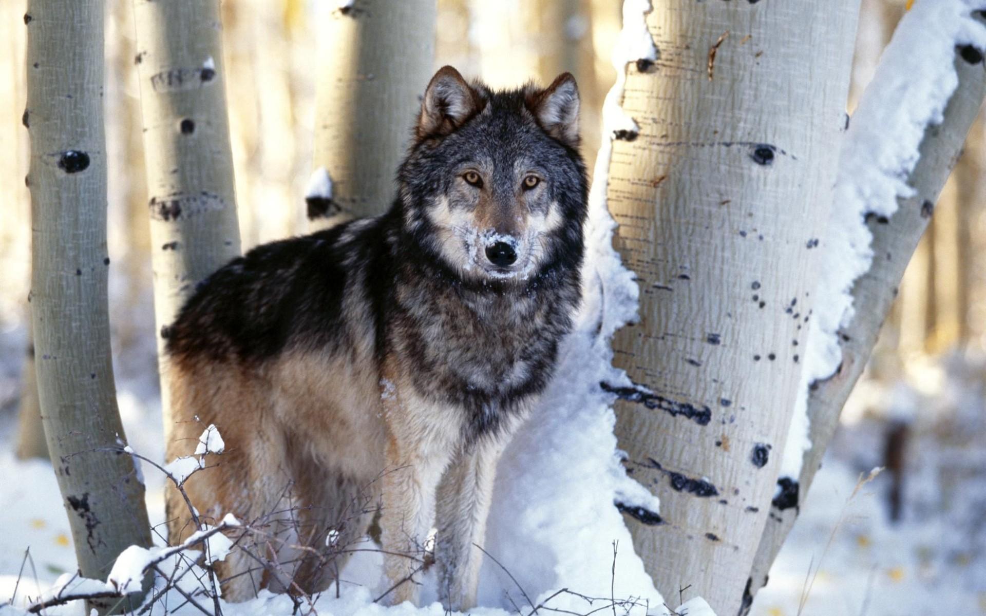 Nevada Wolf Pack Wallpaper: 늑대 배경 화면 앨범 #4