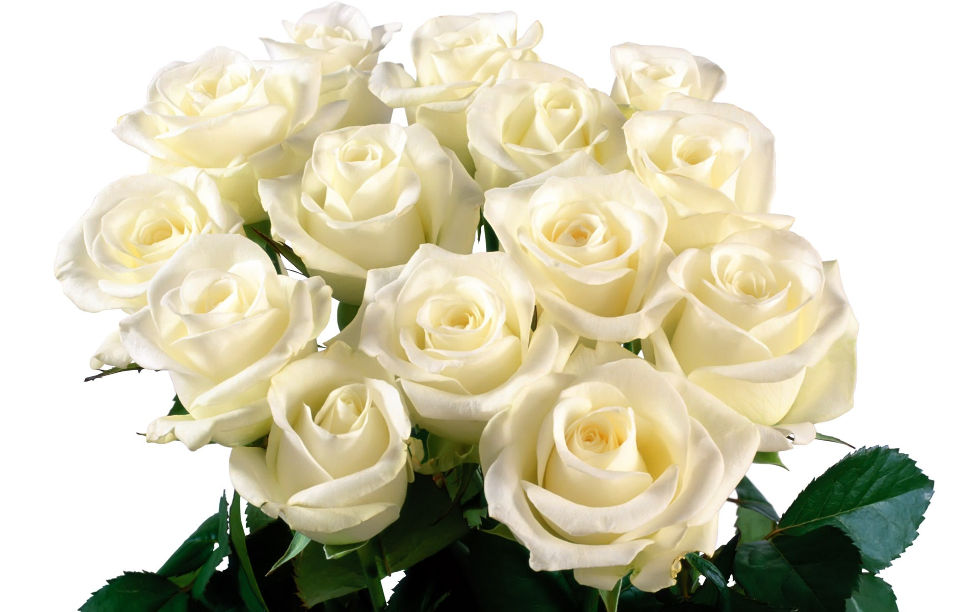 Белые розы на день рождения открытка 7418 97