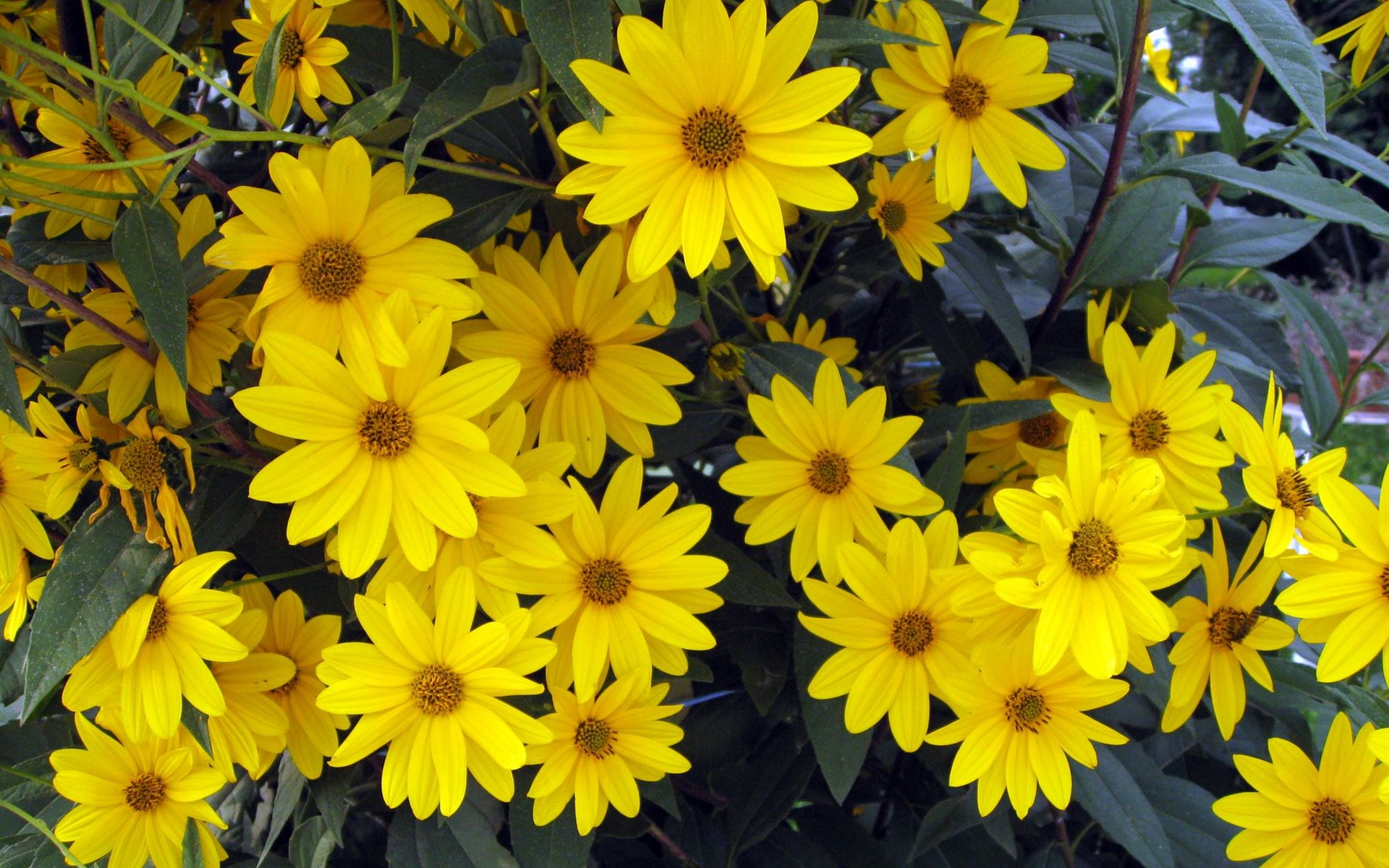 Yellow Aster Flower Comousar