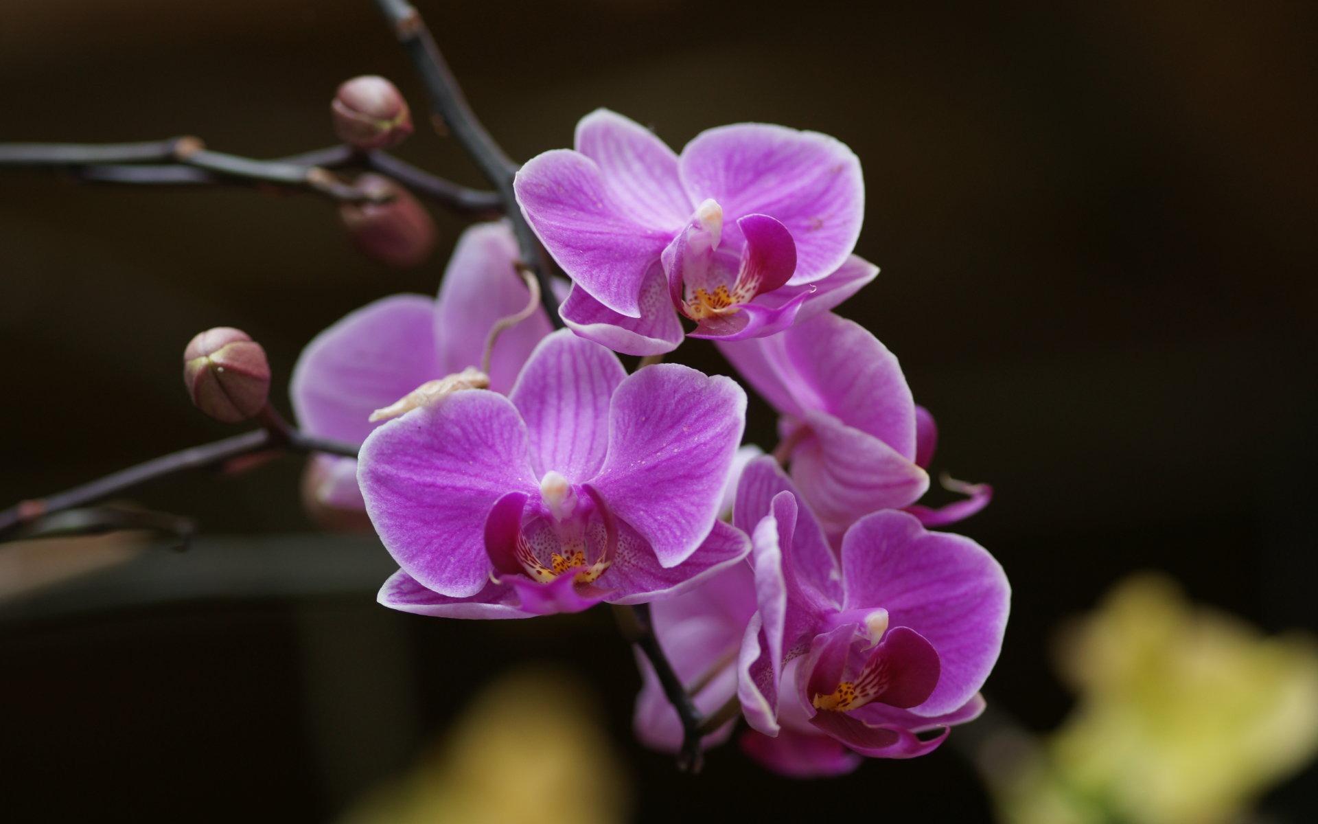 Фото на рабочий стол цветы орхидеи