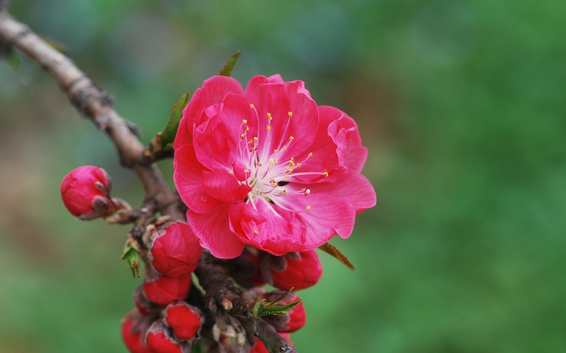 Цветы персика описание фото