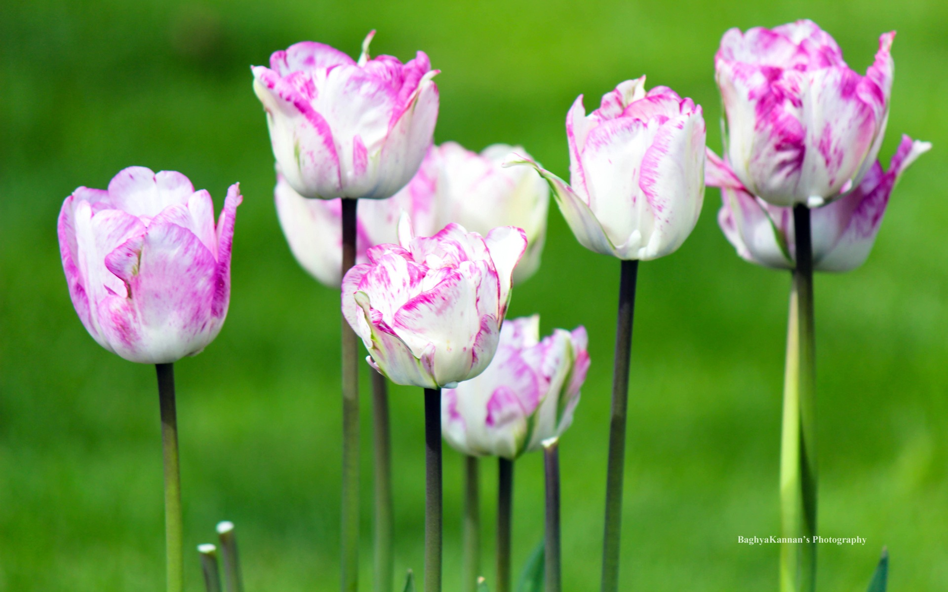 Beautiful Tulip Flowers, Windows 8 Theme HD Wallpapers #9