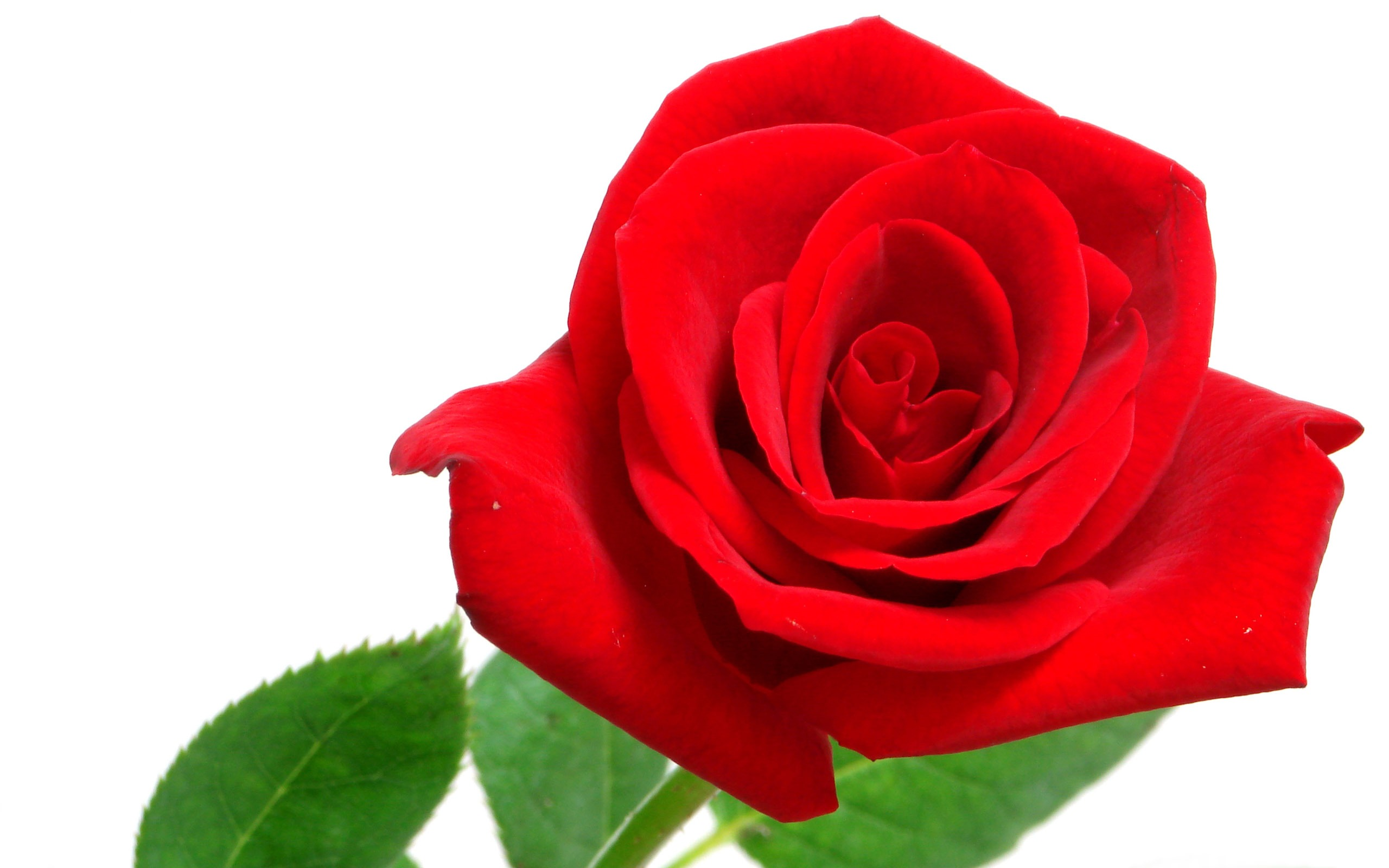 Large Rose Photo Wallpaper (6) #7 - 2560x1600