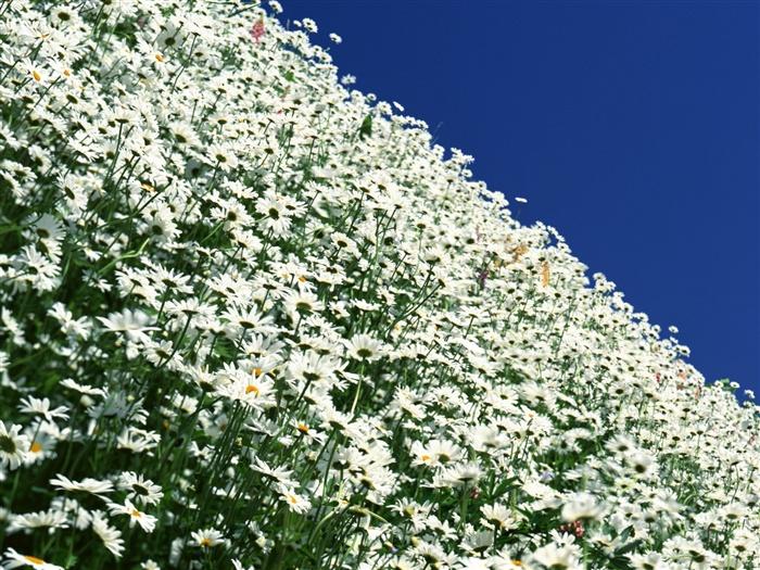 blancanieves flores papel tapiz 9 fondo de pantalla de