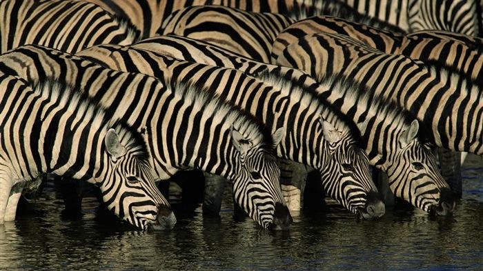黑白条纹的动物,斑马高清壁纸11
