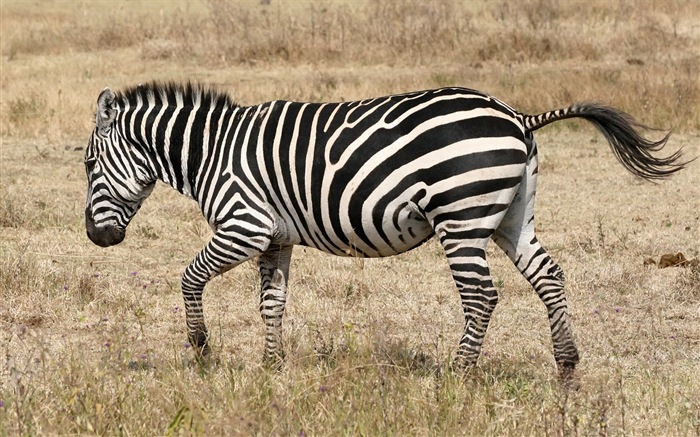 黑白条纹的动物,斑马高清壁纸18