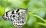 Butterfly Photo Wallpaper (3)