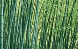 Green bamboo wallpaper #11