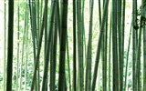 Green bamboo wallpaper #12