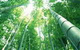 Green bamboo wallpaper #14