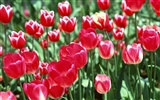 Tulip HD Wallpapers Album #1