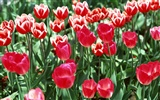 Tulip HD Wallpapers Album #3