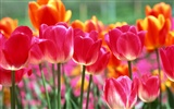 Tulip HD Wallpapers Album #4
