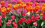 Tulip HD Wallpapers Album #7