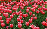 Tulip HD Wallpapers Album #12