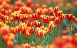 Tulip HD Wallpapers Album #16